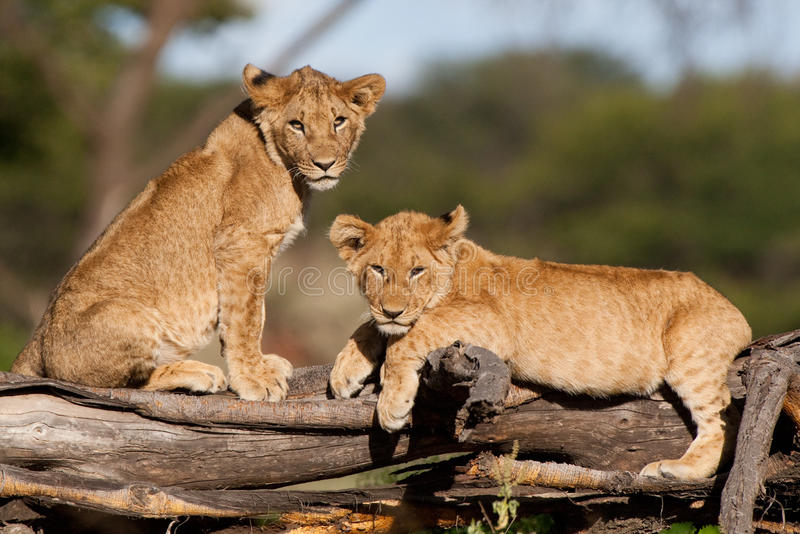 Lion cubs. Two small lion cubs resting on a fallen tree stump royalty free stock photos
