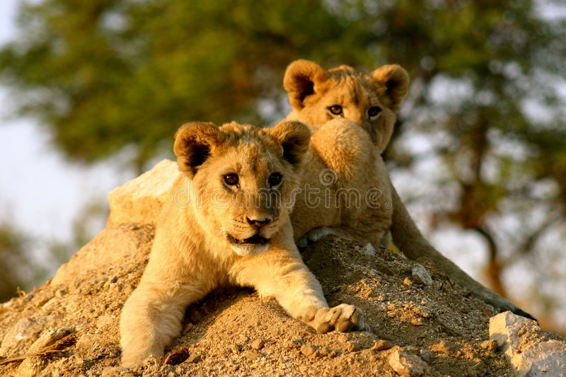Lion Cubs. Two male african lion cubs stock images