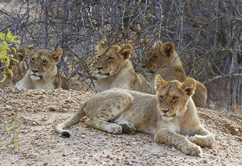Lion cubs. Four Lion cubs resting. Picture was taken in Kruger National park, South Africa stock photo