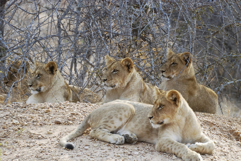 Lion cubs. Five Lion cubs resting. Picture was taken in Kruger National park, South Africa royalty free stock photography
