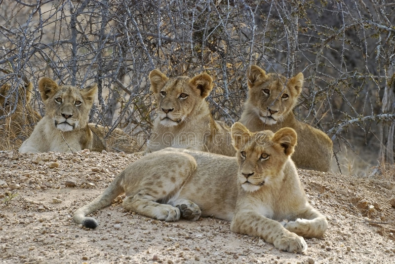 Download Lion cubs stock photo. Image of mammals, alert, big5, looking - 6773664
