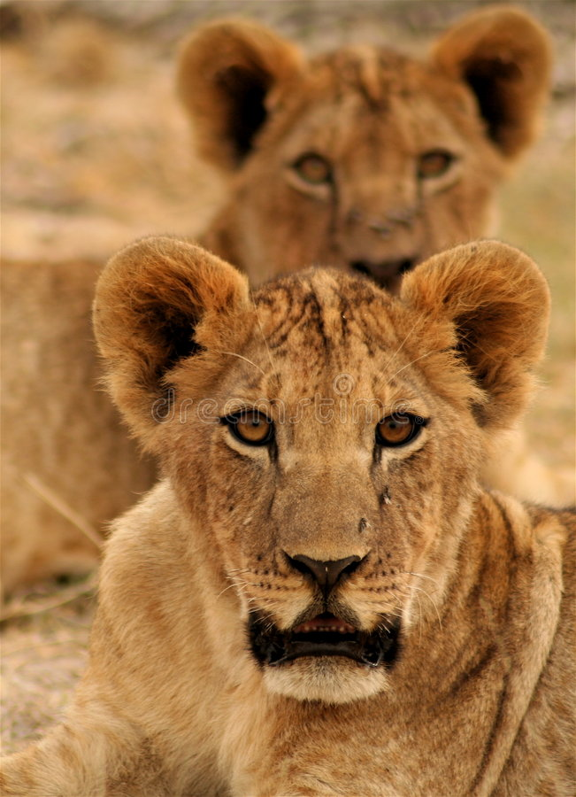 Lion cubs. Two young cubs lying with a large pride in Amboseli National Park, Kenya stock photography