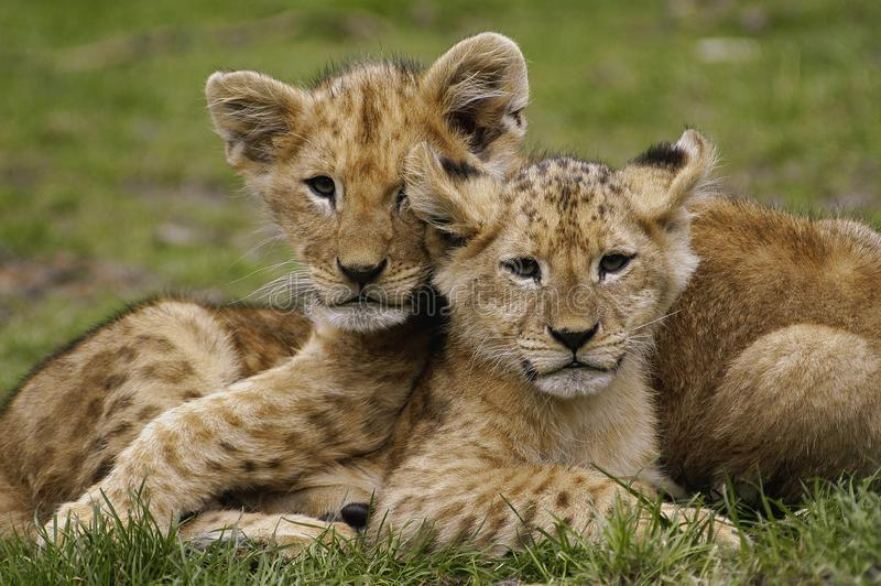 Lion cubs. African lion cubs playing together stock photo