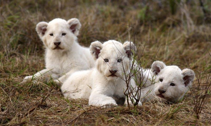 Lion Cubs blanc images stock