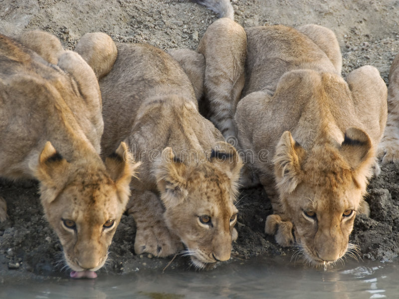 Lion cubs drinking water. 3 lion cubs drinking in a row stock images