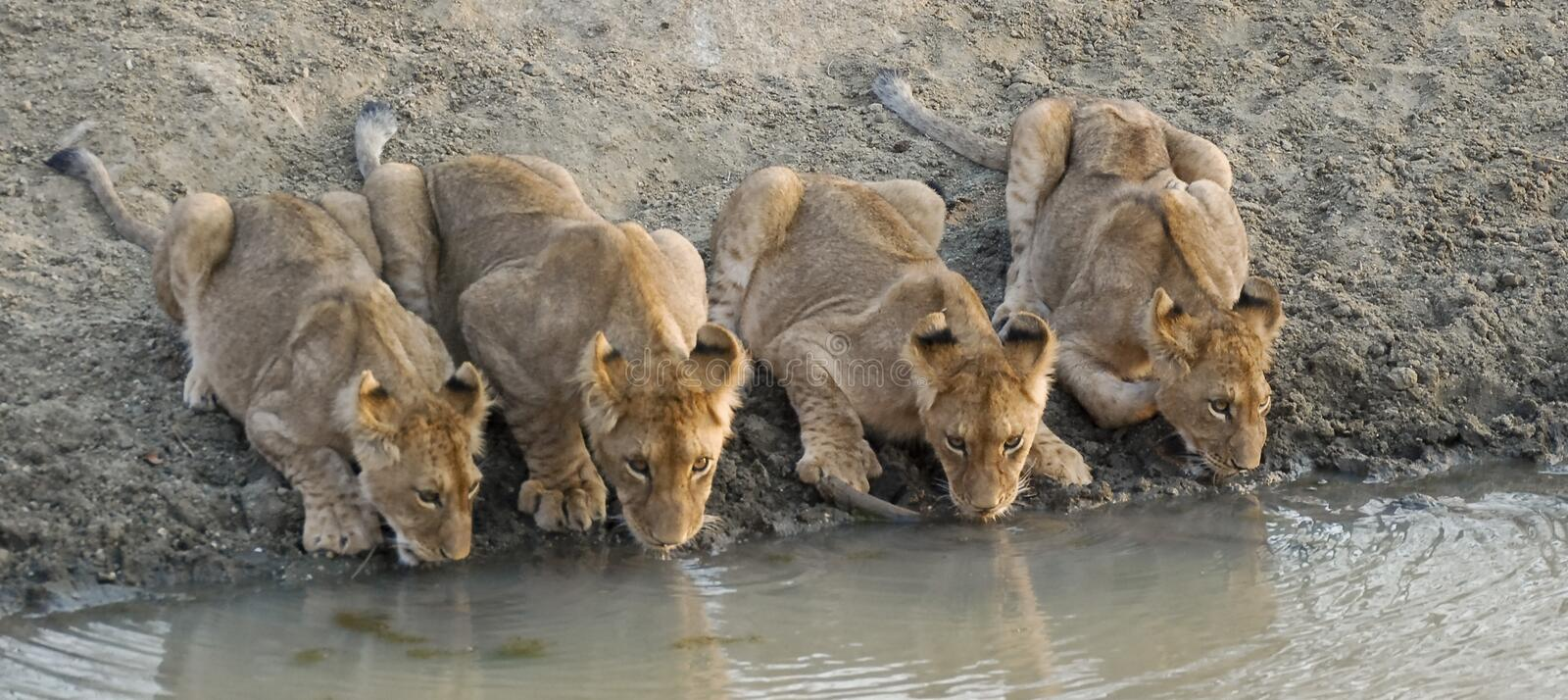 Download Lion cubs drinking water stock image. Image of feline - 6614627