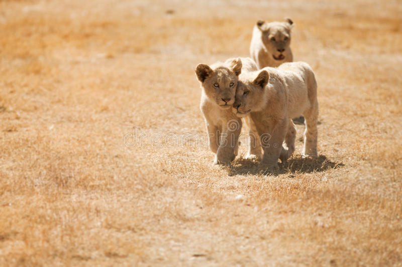 Lion cubs. Enjoying the moment in their leisure time royalty free stock images