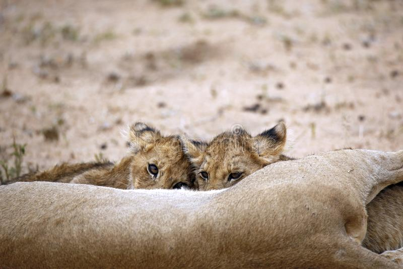 Lion Cubs Feeding fotos de archivo