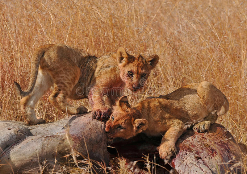 Lion cubs feeding - Serengeti (Tanzania - Africa). Lion cubs feeding at Serengeti National Park (Tanzania, Africa stock images