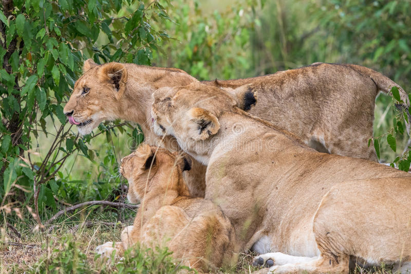 Lion with cubs lying down. Lion with cubs in the bush royalty free stock photography