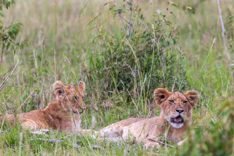 Lion Cubs lying and resting royalty free stock photo