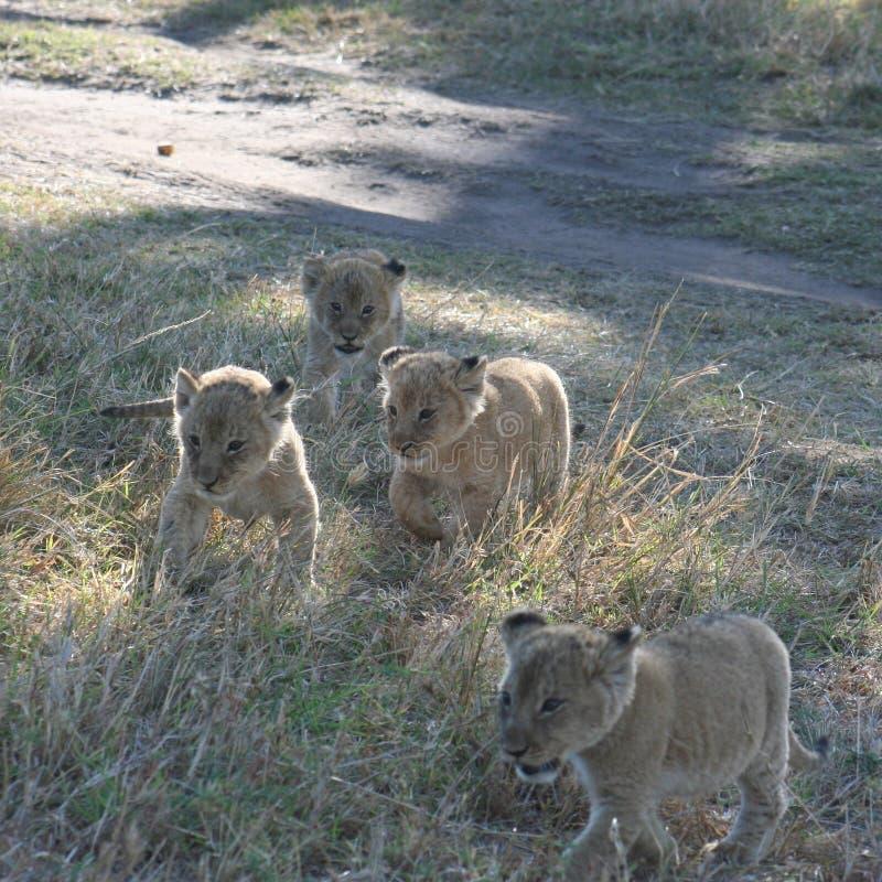 Lion Cubs Panthera Leo Simba nella lingua dello Swahili fotografia stock libera da diritti