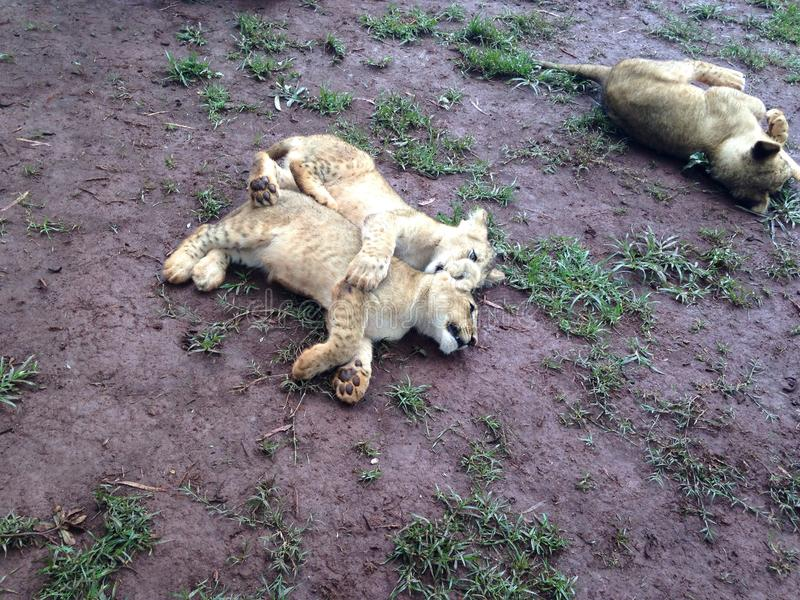 Lion Cubs pequeno foto de stock