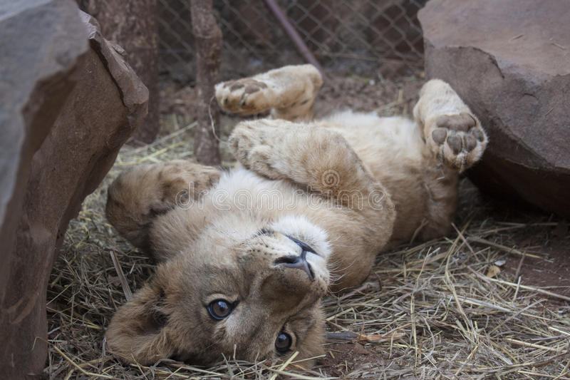Lion Cubs pequeno imagens de stock