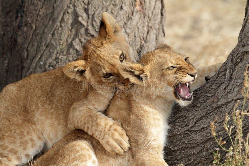Lion Cubs Play Fighting Serengeti Stock Photo Image