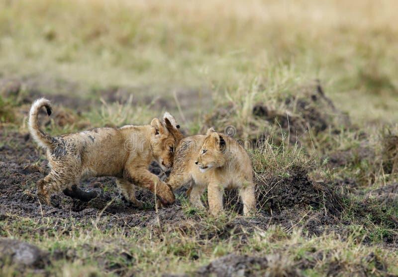 Lion Cubs Playing immagini stock libere da diritti