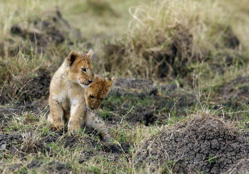 Lion Cubs Playing immagini stock