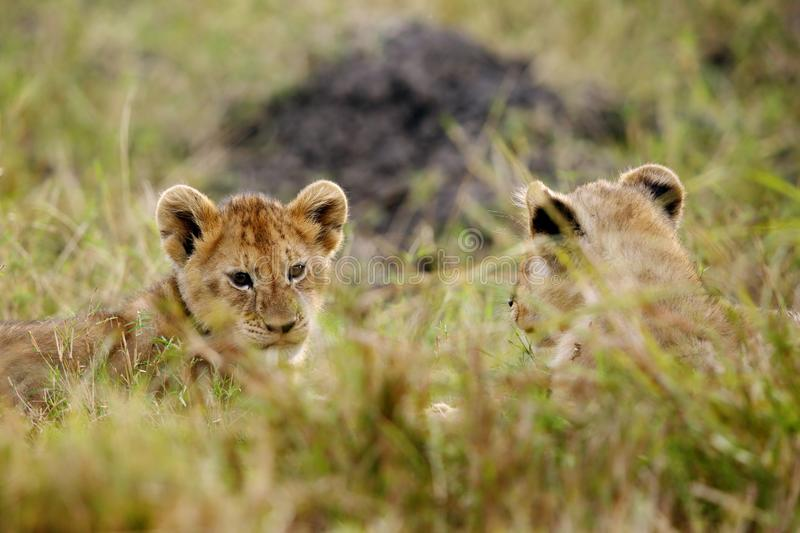 Lion Cubs Playing fotografie stock