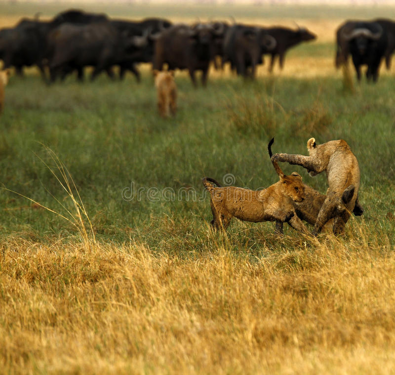 Lion Cubs playing. Cape Buffalo and lion cubs stock image