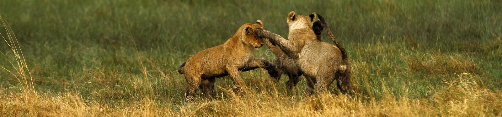 Lion Cubs playing. Playful lion cubs charging each other stock photos