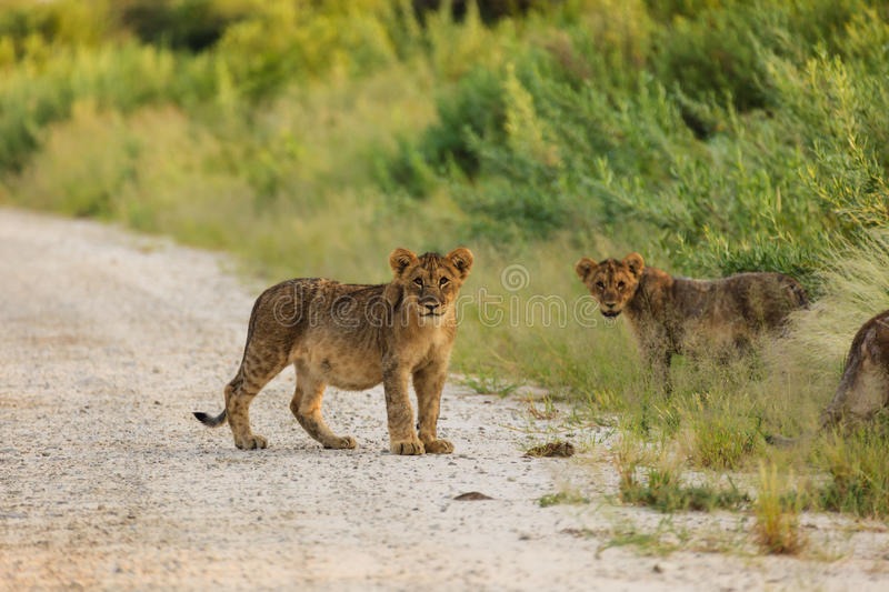 Lion cubs playing in road in Etosha National Park Namibia pause to look at photographer