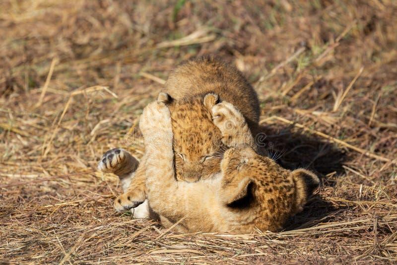 Lion cub closeup, Masai Mara Reserve royalty free stock photo
