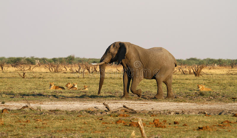 Lion cubs stand off with big bull elephant stock photos