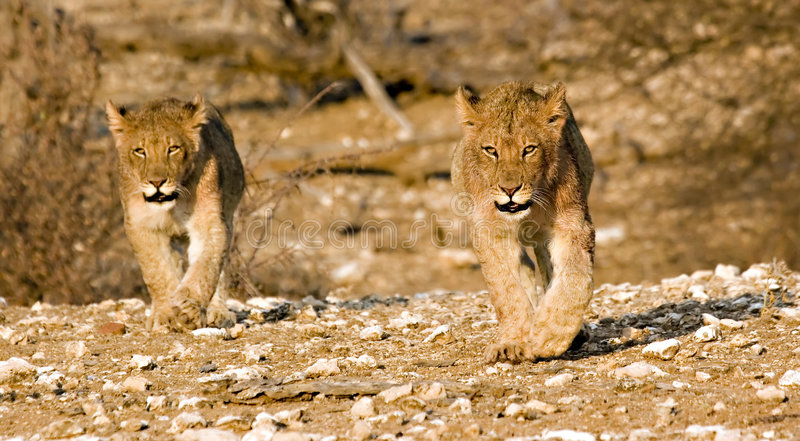 Lion cubs on their round