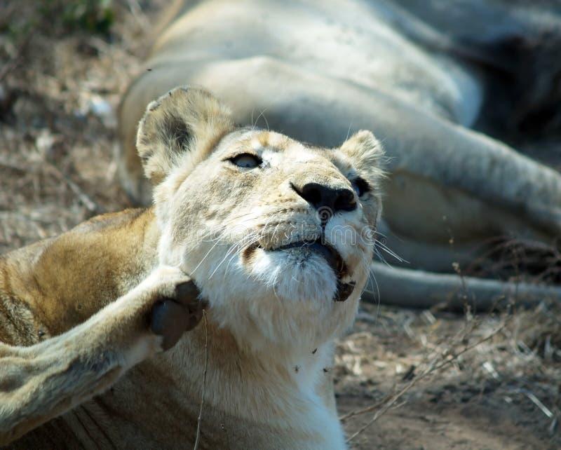 Lion démangeant photos libres de droits