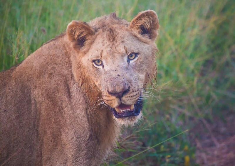 Lion d'Afrion dans la savane au parc national royal de Hlane photo libre de droits