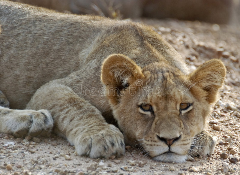 lion d'animal images libres de droits