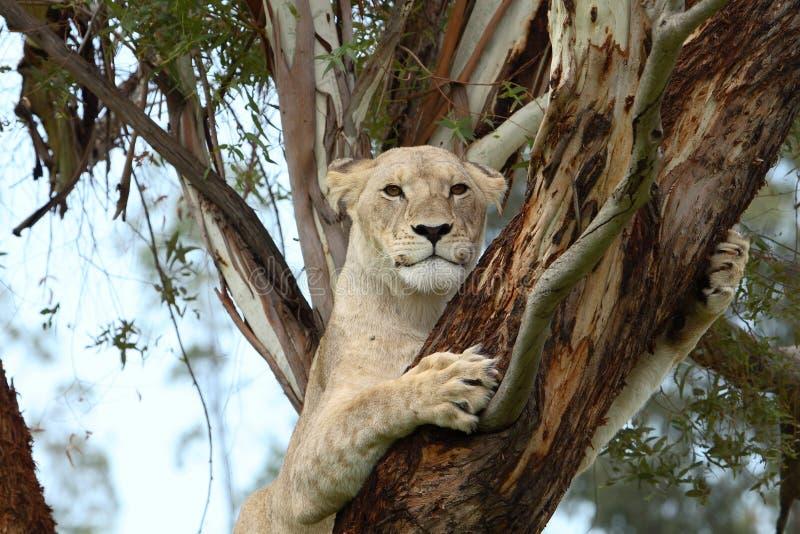 Lion d'arbre image stock