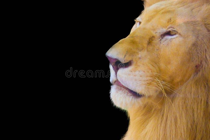 Lion d'isolement sur le fond noir photographie stock
