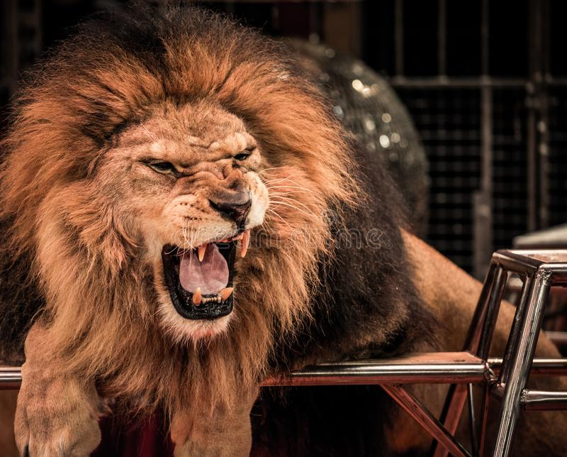 Lion dans le cirque photo stock