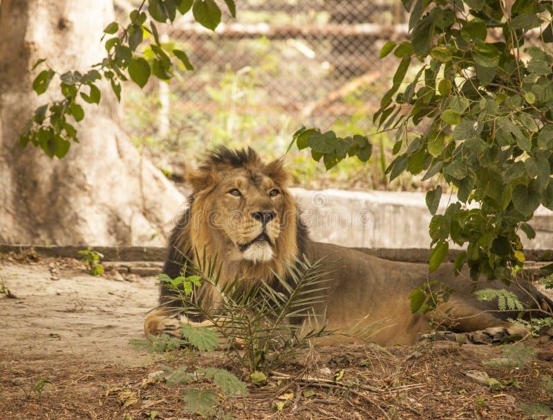 Lion dans le zoo de Delhi images libres de droits