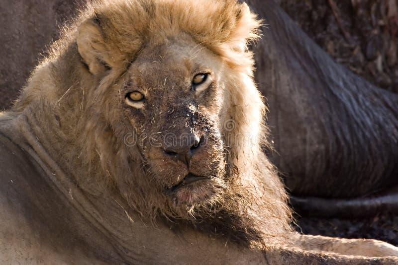 Lion dans Savute image libre de droits