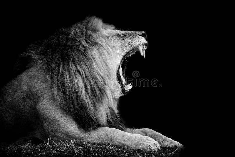 Lion on dark background. Black and white image royalty free stock photo