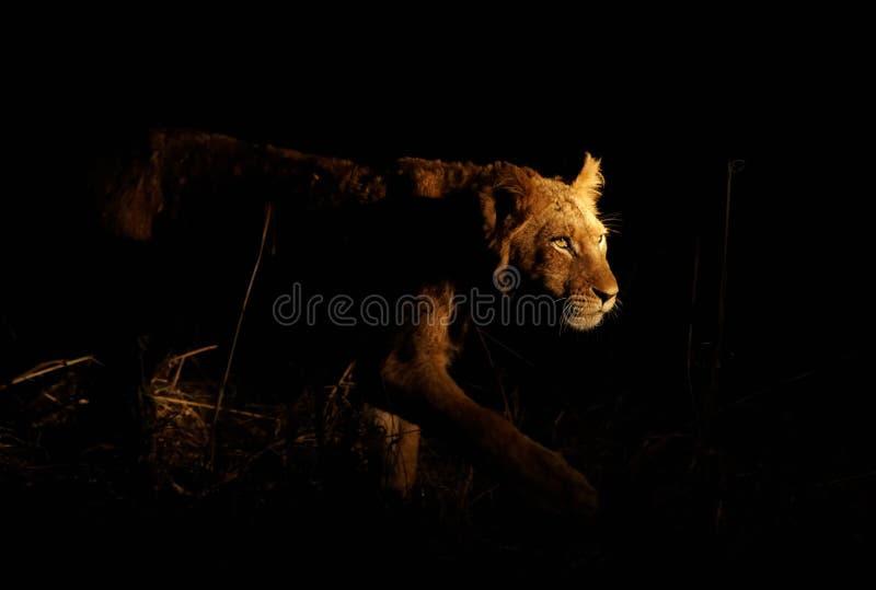 Lion De égrappage Images stock