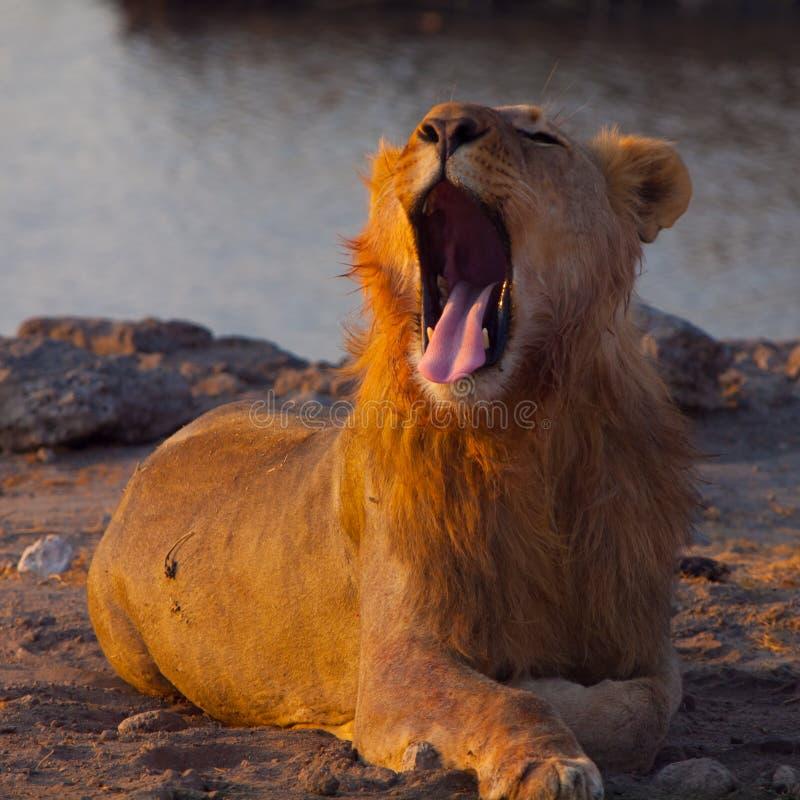 Lion de baîllement photo stock