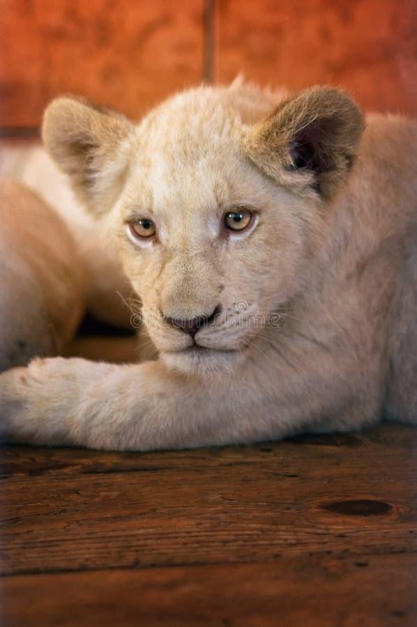 Lion de chéri dans le zoo image libre de droits
