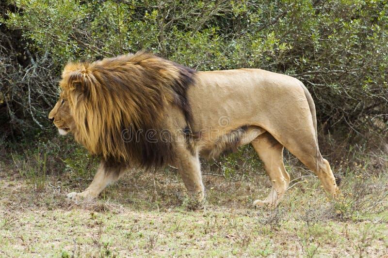 lion de chasse images libres de droits