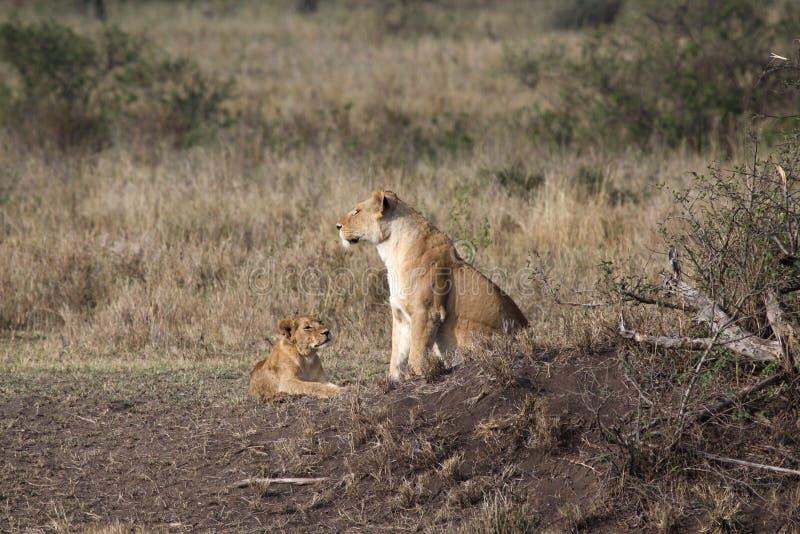 Lion de famille image stock