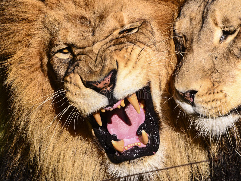 Lion de grondement images stock