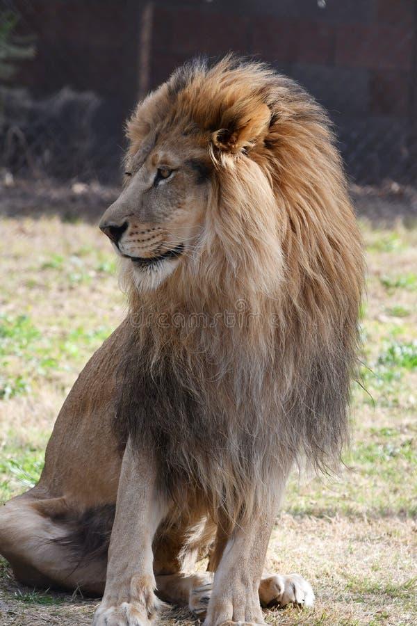 Lion de l'Afrique image libre de droits