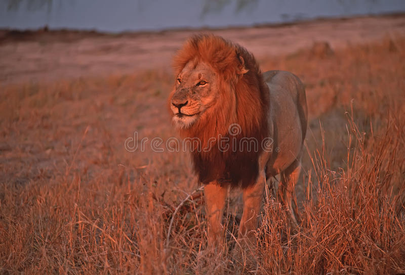 lion de l'Afrique photos stock