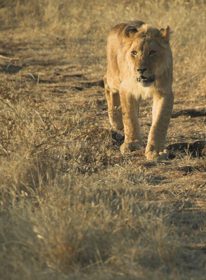 Lion de l'Afrique (Panthera Lion) images stock