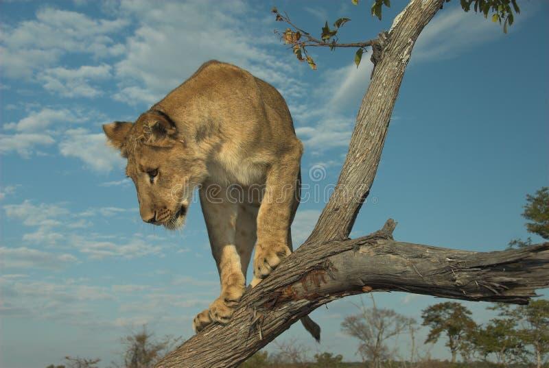 Lion de l'Afrique (Panthera Lion) photo stock