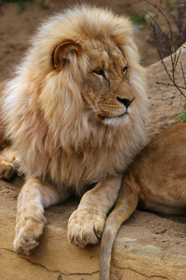 Lion de l'Angola photo libre de droits