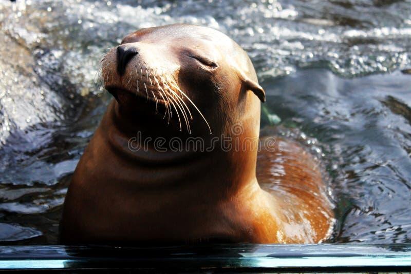 Lion de mer reposant dans un étang dans un zoo photographie stock