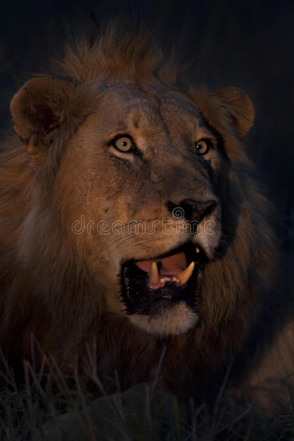 Lion de nuit images libres de droits